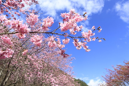 flor: Cherry blossoms. Taiwan famous tourist attractions - Wuling Farm