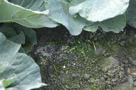 fertilizer: Fertilizer Giving chemical Urea fertilizer to young plant over green Stock Photo