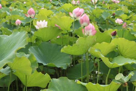 calyxes: The shot of lotus leafs and the blossom