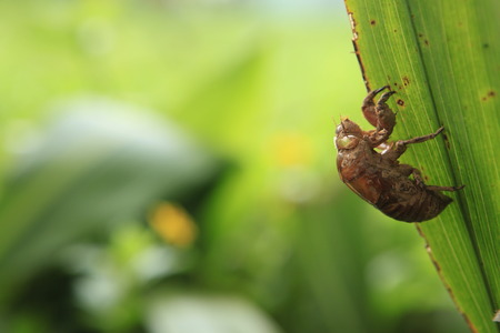 cast off: Cicada slough Stock Photo