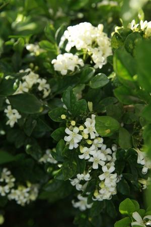 tree jasmine: Adaman Satinwood, Chinese box tree, Orange jasmine, Cosmetic Bark Tree, Murraya paniculata, Common jasmine orange、mock orange、Orange Jasmine、Orange jessamine