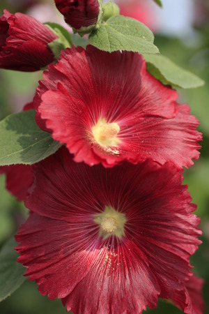 Close-up of blossoming Bristly Hollyhock. photo