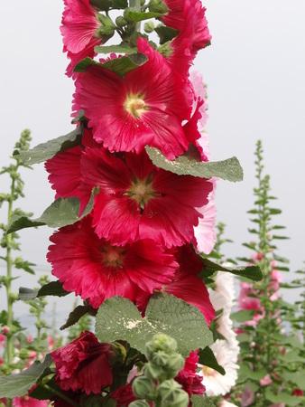 bristly: Close-up of blossoming Bristly Hollyhock.