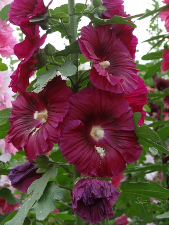 hollyhock: Close-up of blossoming Bristly Hollyhock.