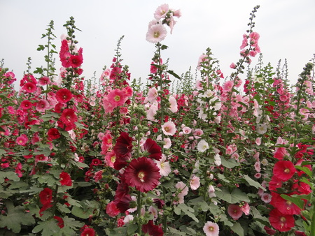Close-up of blossoming Bristly Hollyhock.