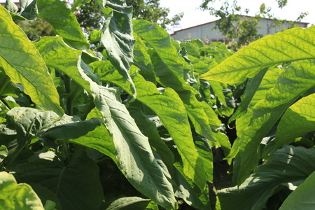 insects on tobacco leaf in garden