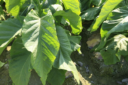 tobacco leaf: insects on tobacco leaf in garden
