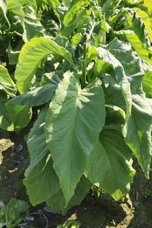 tobacco leaf: Tobacco leaf Stock Photo
