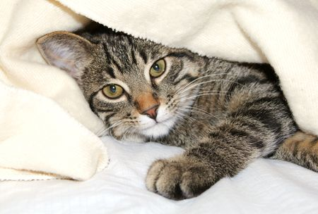 Gray cat resting under a blanket photo