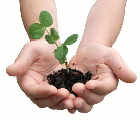 Childs hands holding a small pea plant