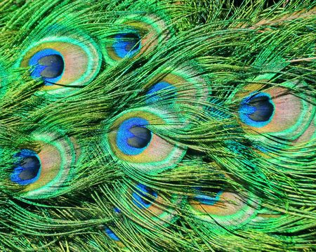 Closeup of peacock feathers for background