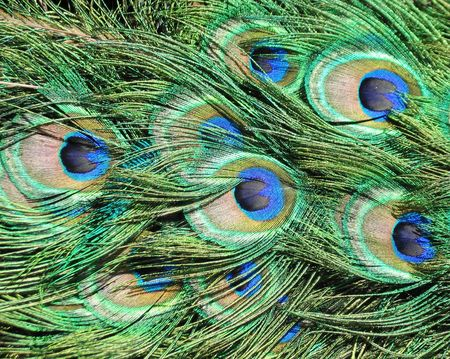 Peacock feathers closeup for background