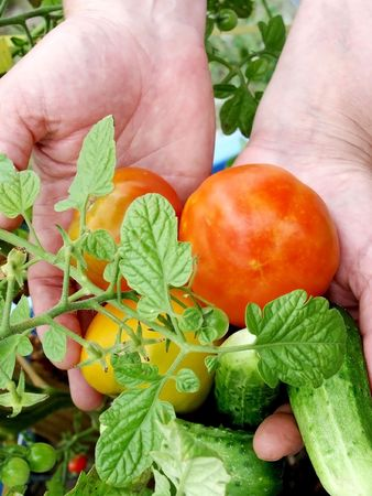 Hands with harvest of tomatoes and cucumbers Stock Photo