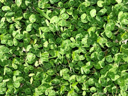 Green clover field for background Stock Photo - 6268155