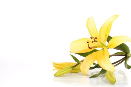 funeral background: Yellow lilly with white space