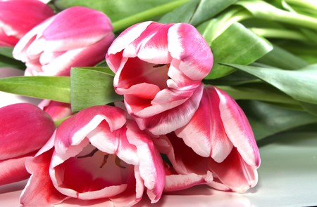 Pink tulips bouquet on white Stock Photo