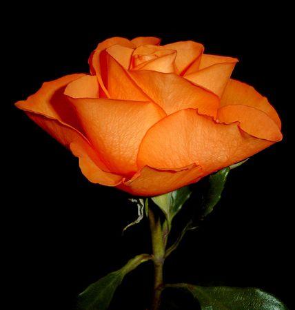stamens: ORANGE ROSE