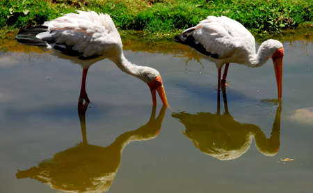billed: BIRDS,YELLOW BILLED STORKS Stock Photo
