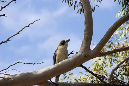largest tree: KOOKABURRA