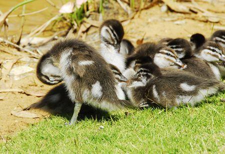 offsprings: DUCKLINGS Stock Photo