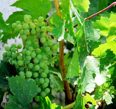 growers: GRAPES Stock Photo
