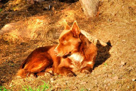 trustful: cattle Dog