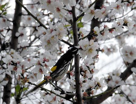 eater: Blossom and Honey eater