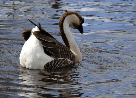 Goose Stock Photo - 5583128