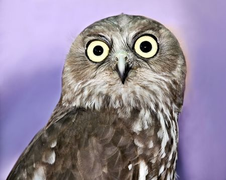 Barking Owl Stock Photo