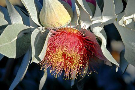 eucalyptus trees: Gum Blossom