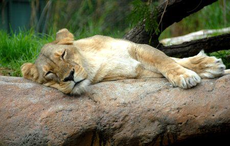 Lioness Stock Photo - 7097051