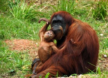 hominid: Orangutan & baby