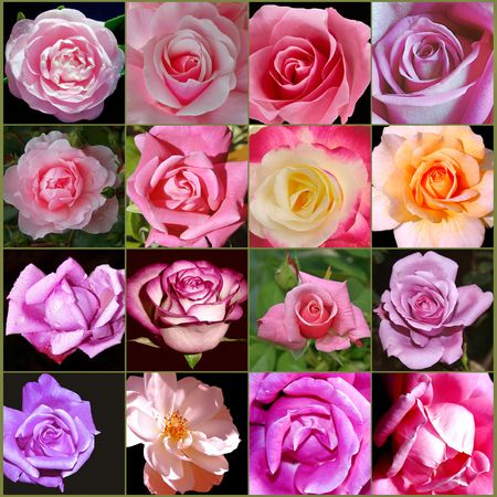 Pink Rose Collage Stock Photo - 7383863