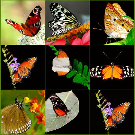 exotic butterflies: Butterfly Collage