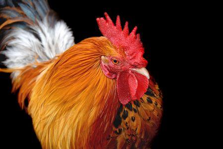 Chicken Stock Photo - 7439692