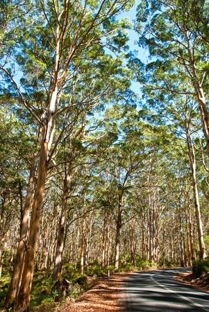 karri: Forest full of famous Australian Karri Trees. Western Australia,  Stock Photo