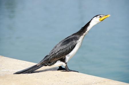 pied shag little pied cormorant