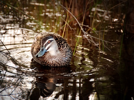 Duck Hiding in a Pond photo