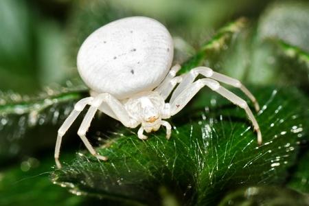 vatia: Crab Spider - Misumena vatia