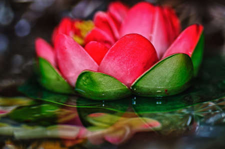 Pink waterlily photo