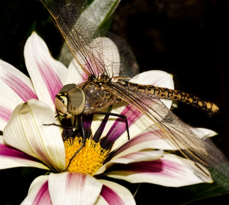 dragonfly on a flower , portrait macro photo