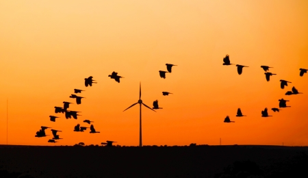Wind turbine with Black Cockatoo s in flight at sunset, Australia