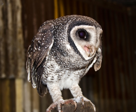Lesser Sooty Owl , Australian Wildlife photo