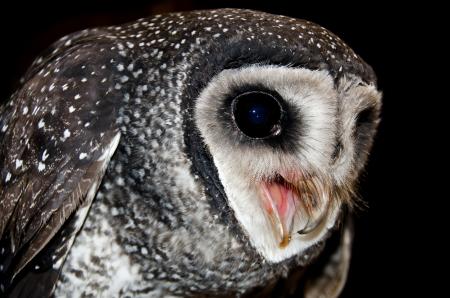 lesser: Lesser Sooty Owl , Australian Wildlife