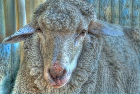 flock of sheep: Australian Sheep