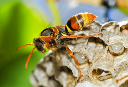 Wasp on Hive photo