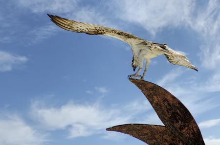 osprey: Australian Osprey