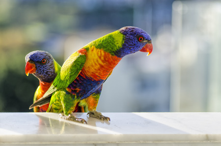 periquito: Australiano de arco iris