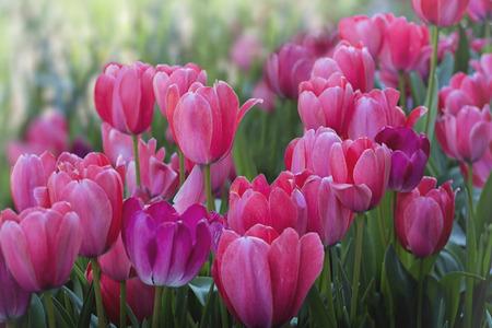 autumn colour: Field of tulips