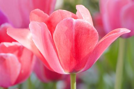 purple flower: Pink Tulips